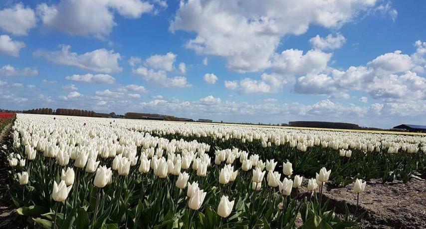 witte tulpen (Small)